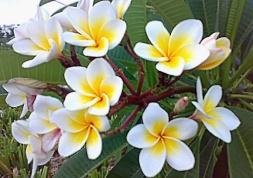 plumeria_flowers_frangipani